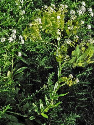 שלטה צרת-עלים Peltaria angustifolia DC.
