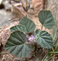 עורקי העלים שקועים בטרף, העלה ירוק כהה ומאדים; דמוי ביצה, חלק מהעלים דמויי לב בבסיסם.
