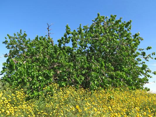 תות לבן Morus alba L.