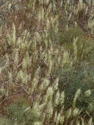 שילשון סרגלני Trisetaria linearis Forssk.
