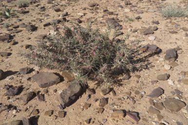 צמחי ערבות ומדבר קוצניים מאד