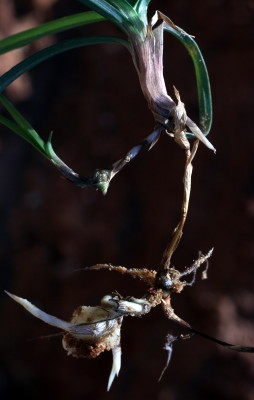גומא הפקעים Cyperus rotundus L.