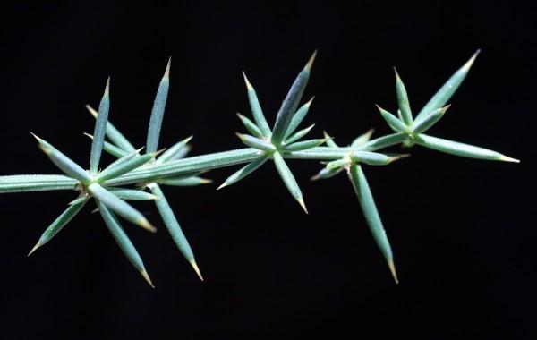 אספרג החורש Asparagus aphyllus L.