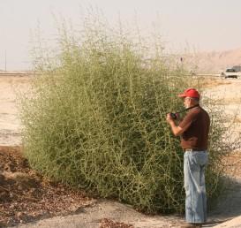 צמחים חד-שנתיים העשויים להגיע בקיץ לקוטר 3-2 מ' ובהתייבשם להתגלגל ברוח ולהפיץ זרעים