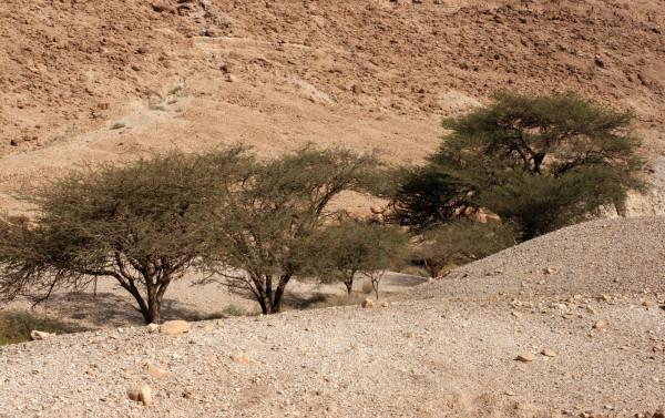שיטה סלילנית Acacia raddiana Savi