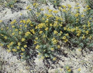 מרבדים רב-שנתיים בפריחה מלאה. הקרקפות ערוכות במעין סוככים