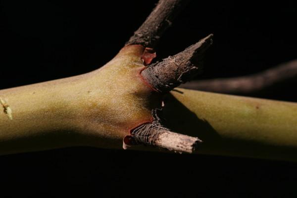קטלב מצוי Arbutus andrachne L.