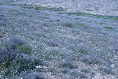 מרבדי פריחה בערבת-שיחים בשלטון לענת המדבר ונואית קוצנית