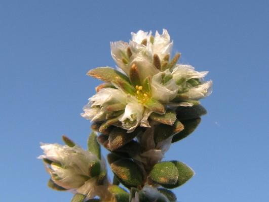 Paronychia palaestina Eig
