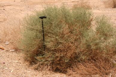 שיח כדורי פחות או יותר; הענפים מסתעפים בזווית גדולה מהגזע או מענפים צדדיים. גדל בבתי-גידול טבעיים (כמו שולי ערוצים)