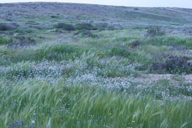 שלטון בכתמים של מלעניאל מצוי בעמקי לס הנהנים בשנה גשומה משפע מים