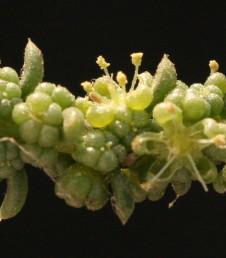 עלי-התפרחת גליליים, בשרניים ומסתיימים בחוד;הפרחים בעלי 5 עלי-עטיף כדוריים בשרניים ובמרכזם 5 אבקנים