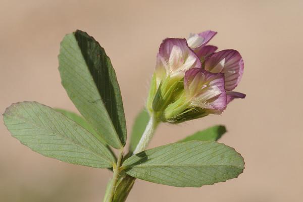 תלתן הדור Trifolium grandiflorum Schreb.