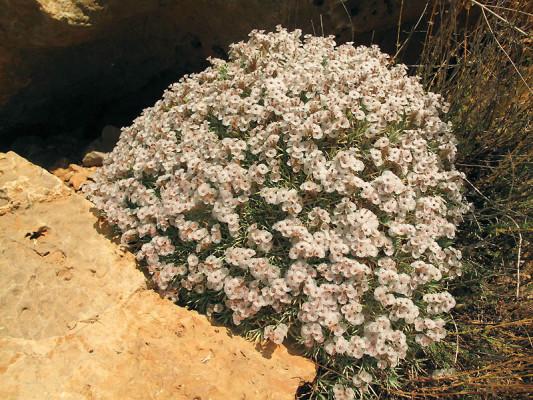 חדעד הלבנון Acantholimon libanoticum Boiss.