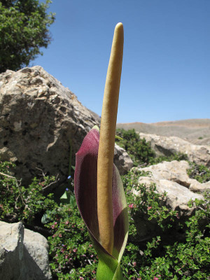 לוף מוארך Arum rupicola Boiss.