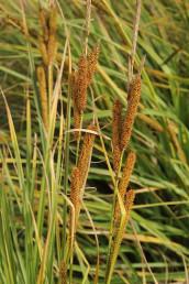 צמחי קרקעות ביצתיות. התפרחות הן שיבולים אחדים לאורך גבעול משותף.