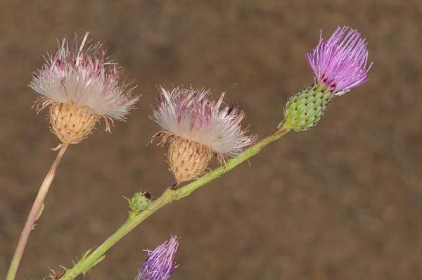 קוצן מכונף Cirsium alatum (S.G.Gmel.) Bobrov