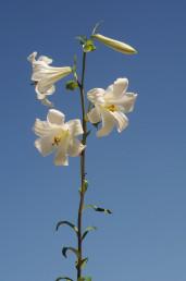 צמחים רב-שנתיים בעלי בצל העשוי גלדים צרים. התפרחת אשכול הנישא בראש גבעול מכוסה עלים. הפרחים לבנים, ריחניים, נוטים מעט מטה.