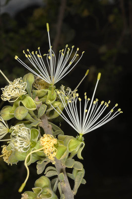 מרואה עבת-עלים Maerua crassifolia Forssk.
