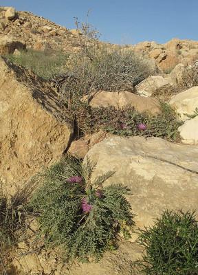 Serratula pusilla (Labill.) Dittrich