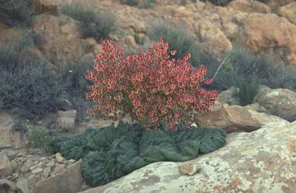 Rheum palaestinum Feinbrun