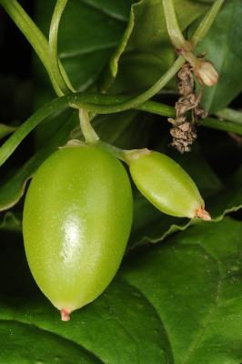 טמוס מזרחי Tamus orientalis Thiebaut
