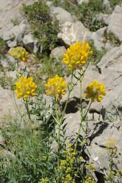 צמח עשבוני רב-שנתי זקוף בכל תפרחות כדוריות צהובות גדולות