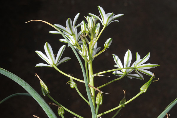 נץ-חלב שטוח-עלים Ornithogalum cuspidatum Bertol.