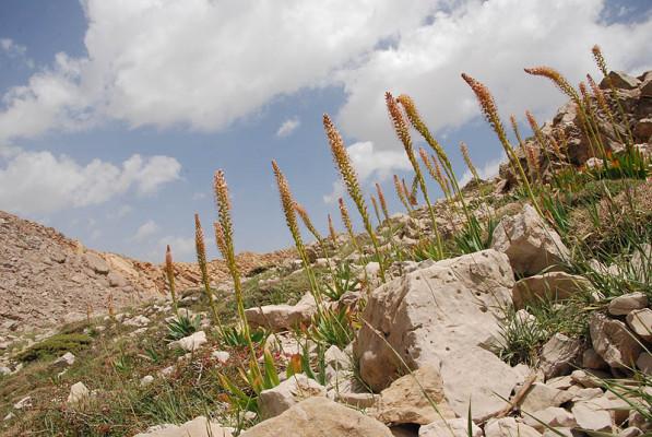 עריר הלבנון Eremurus spectabilis M.Bieb.