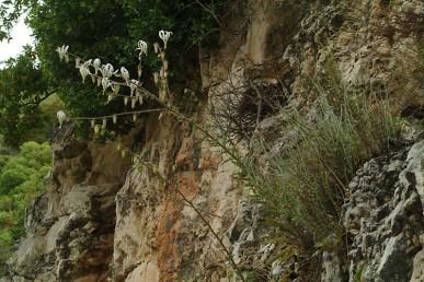 צמח דו-שנתי גבוה הגדל במצוקים