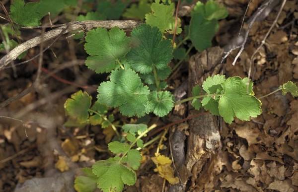 זנבן שנוי-פירות Geum heterocarpum Boiss.