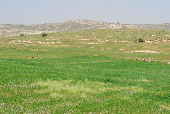 מרווה סורית Salvia syriaca L.