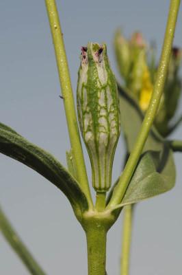 ציפורנית דביקה Silene muscipula L.
