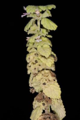 גלונית פלשתית Ballota philistaea Bornm.