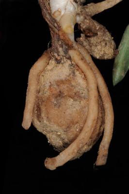 סחלב פרפרני Anacamptis papilionacea (L.) R.M.Bateman, Pridgeon & M.W.Chase