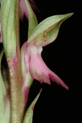 Orchis sancta L.