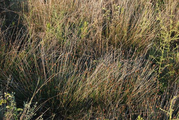 אחיגומא משחיר Schoenus nigricans L.
