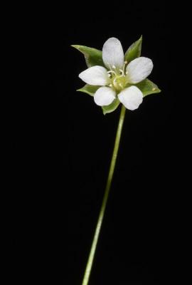 ארנריה נימית Arenaria tremula Boiss.