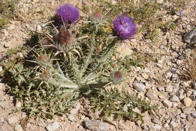 צמח נמוך, הקרקפות בפרי גדולות מאד' קוטרן ללא הקוצים 10-5 ס
