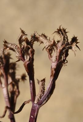 ולריינית מגובששת Valerianella tuberculata Boiss.