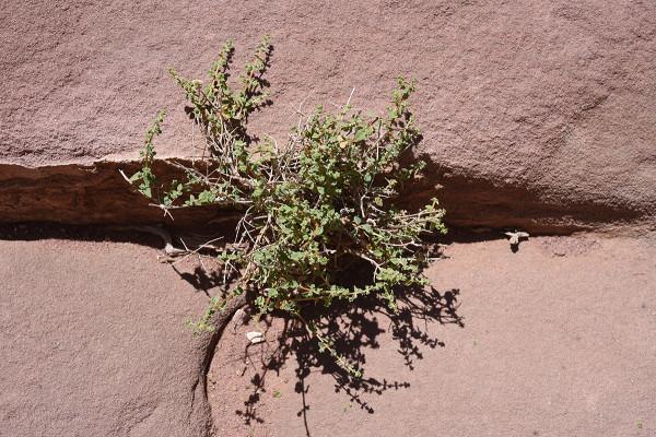 אזובית ירדנית Origanum jordanicum Danin & Kuenne