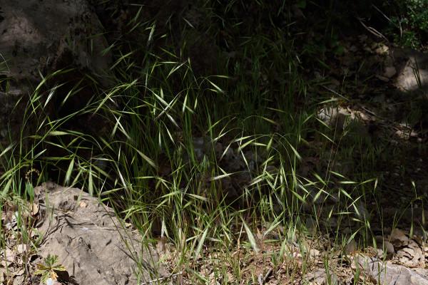 ברומית עקרה Bromus sterilis L.