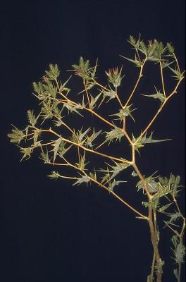 קוסיניה מואבית Cousinia moabitica Bornm. & Nabelek