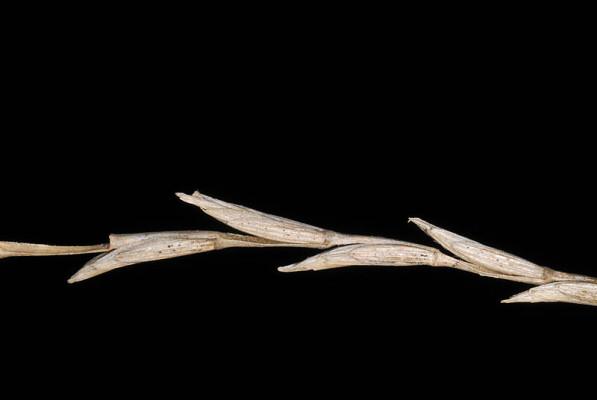 גלדן מחוספס Elytrigia intermedia (Host) Nevski