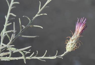 הפרחים ורודים חוורים, קוצי המעטפת כפופים