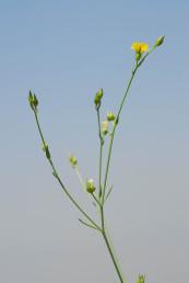 חד-שנתי עדין, העלים חלקים ולא מחוספסים, הפרחים קטנים מאד, התפרחת מסועפת מעט