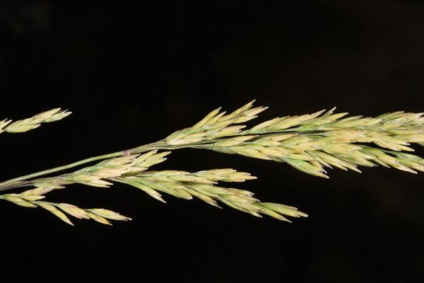 סיסנית היערות Poa nemoralis L.