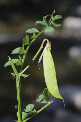 Vicia cypria Kotschy