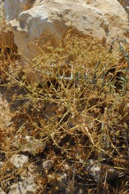 כמנון ענף Pimpinella corymbosa Boiss.