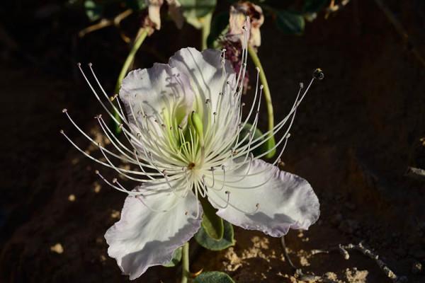 Capparis ramonensis Danin